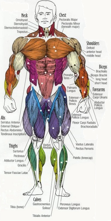 anatomy_full_front
