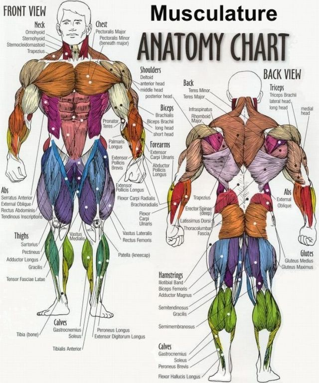 Musculature Anatomy Chart